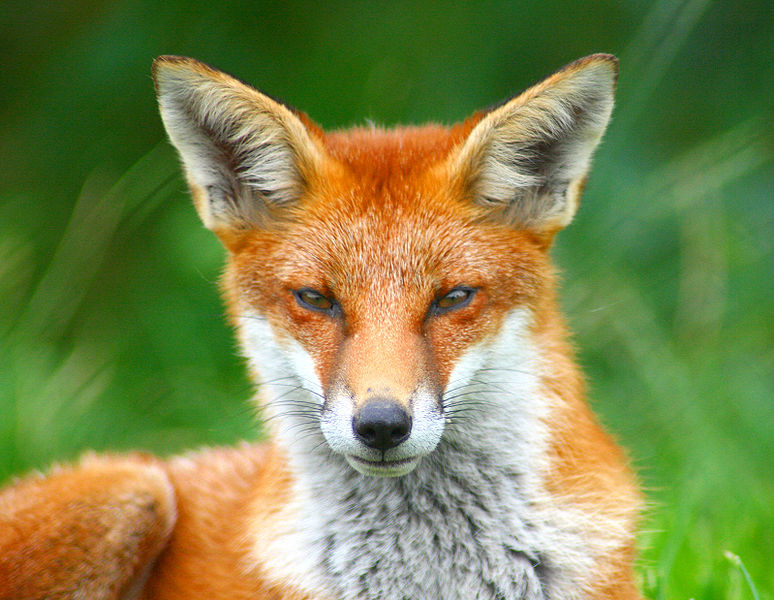 The Red Fox. photo from creative commons.