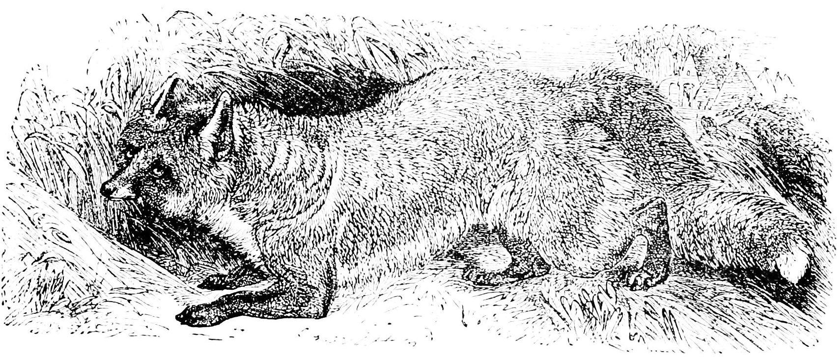 PSM_V38_D833_English_fox
