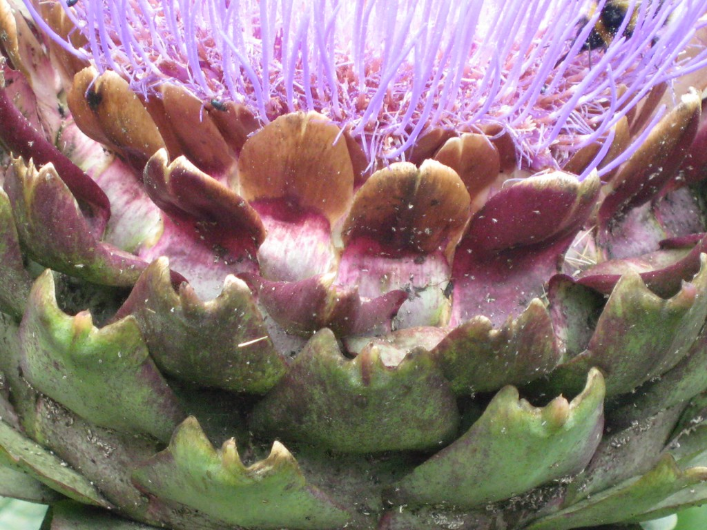 An artichoke blooming in a Kent Garden. Photo by me.