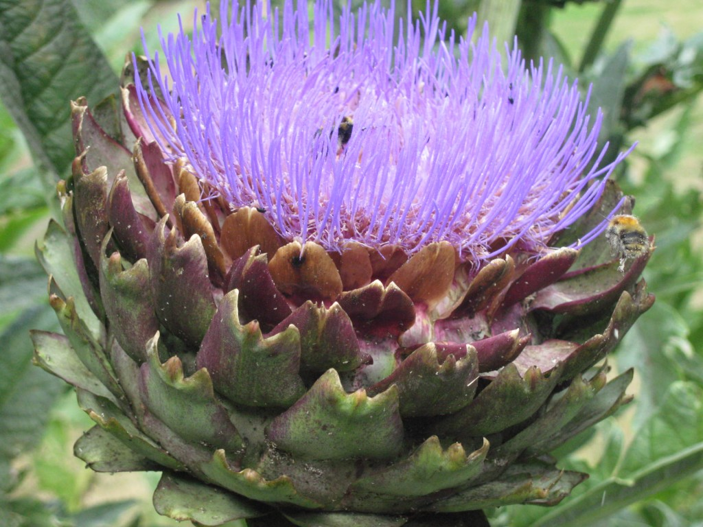 The artichokes attracted a constant flotilla of bees. Photo by me.
