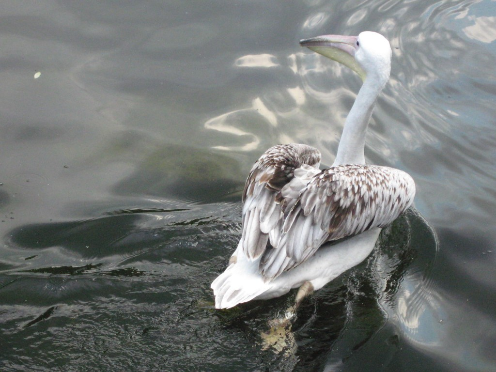 A waterfowl staying cool in St. James's Park. Photo by me.